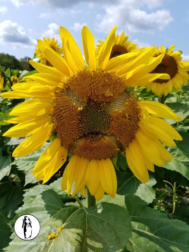 NJ_Sunflower_angry_LG